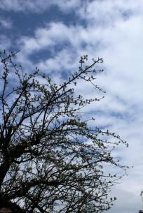 Birnbaum im Frühling