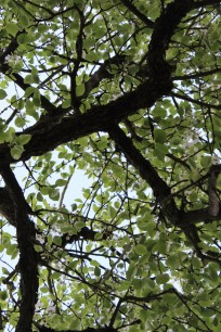 Birnbaum im Sommer