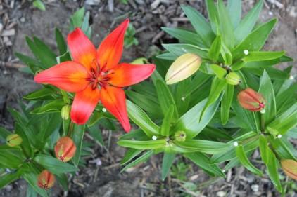 2016-05-06_Lilien-Orange