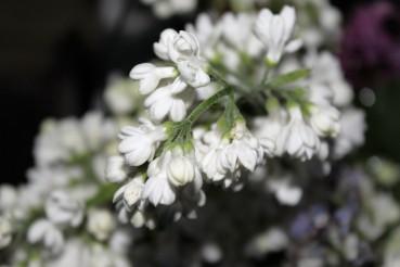 Blüte Weißer Flieder