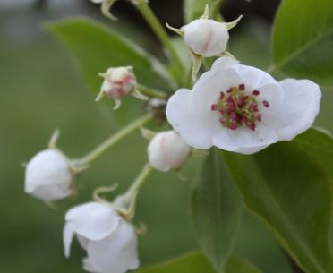 Birngaum im Frühling