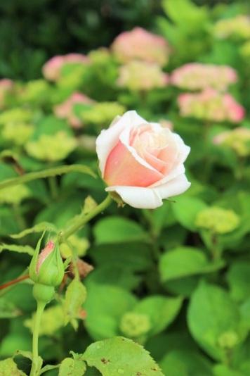 2016-07-09_Rose_klein