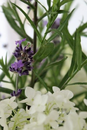 ffd-2016-07-08_Hortensie_Lavendel(01)_klein